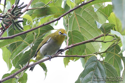 Mountain White Eye bird
