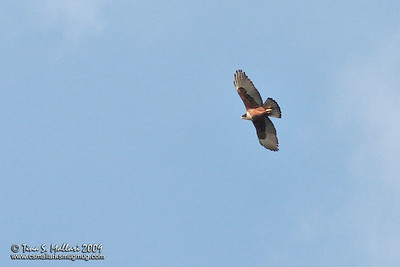 Rufous Bellied Eagle