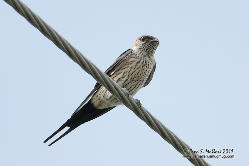 Striated Swallow (Hirundo striolata)