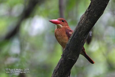 Ruddy Kingfisher (Halcyon Coromanda)