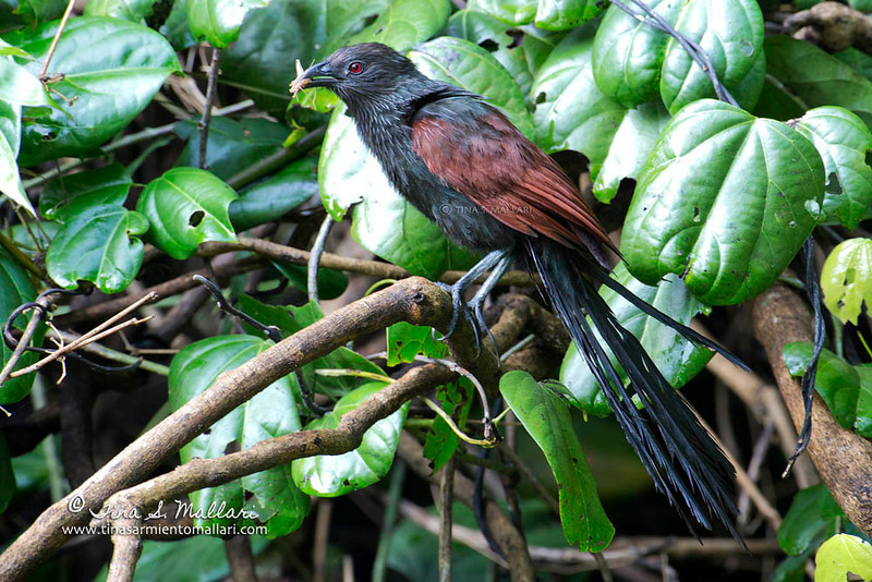 Philippine Coucal (Centropus viridis) A Philippine Endemic
