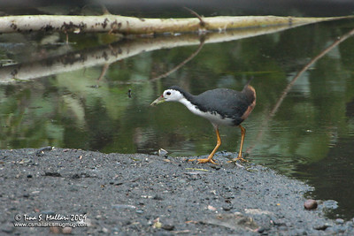 White Breasted Waterhen (Amaurornis phoenicurus)