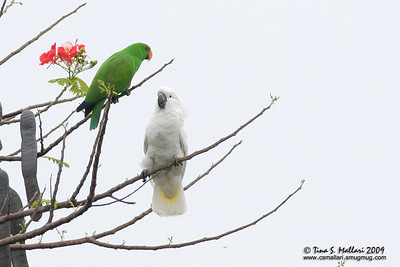 Umbrella Cockatoo & Eclectic Parrot