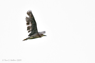 The most pathetic Black Crowned Night Heron that I have seen