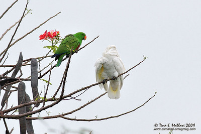 Umbrella Cockatoo & Eclectic Parrot