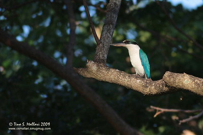 White-collared Kingfisher (Halcyon chloris)