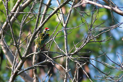 Coppersmith Barbet (Megalaima haemacephala)  had to include this too coz it was my first time to see a barbet that needs to go to the beauty parlor BADLY ;-)