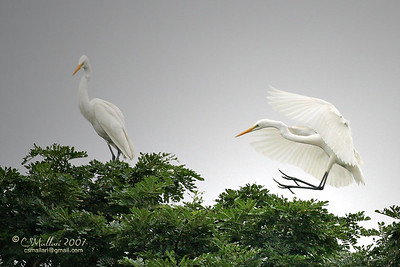 Great Egrets