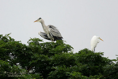 Grey Heron & Great Heron