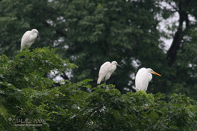 Great Egret & Little Egrets