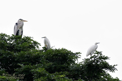 Grey Heron & Little Egrets