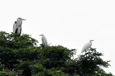 Grey Heron & Little Egrets
