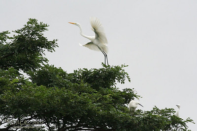 Great Egret & Little Herons