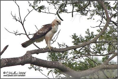 Philippine Hawk-Eagle (immature)