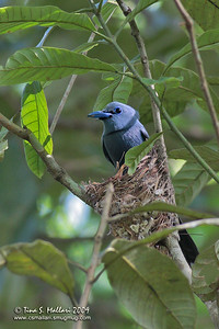 Blue Paradise-Flycatcher (Terpsiphone cyanescens)