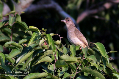 Olive-winged Bulbul (Pycnonotous plumosus)