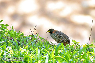 Barred Buttonquail (Turnix suscitator fasciata) endemic race