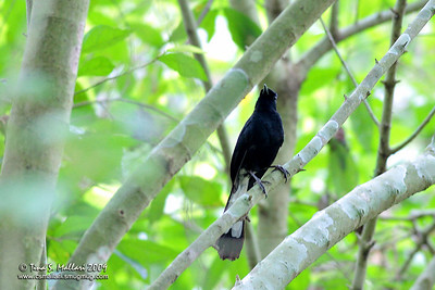 White-vented Shama (Copsychus niger) Philippine Endemic