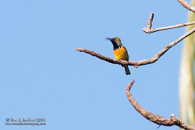 Olive-backed Sunbird (Nectarinia aurora)