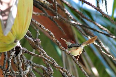 Rufous-tailed Tailorbird (Orthotomus sericeus)