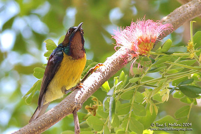 Plain-throated Sunbird (Anthreptes malacensis)