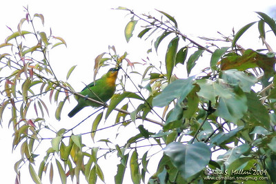Yellow-throated Leafbird  (Chloropsis palawanensis) Philippine Endemic