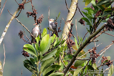 Chestnut-cheeked Starling (Sturnus philippensis)