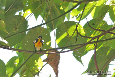 Palawan Flowerpecker (Prionochilus plateni) Philippine Endemic