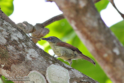 Striped Tit Babbler (Macronus gularis)
