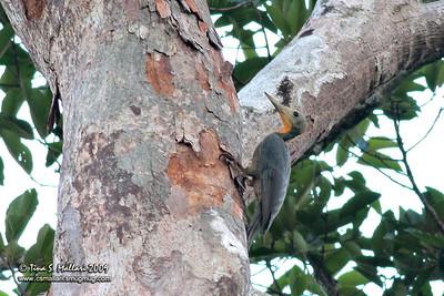 Great Slaty Woodpecker (Mulleripicus pulverulentus)