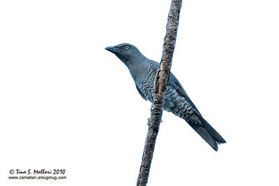 Bar-bellied Cuckoo-shrike (Coracina striata striata)