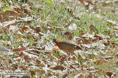 Spotted Buttonquail (Turnix ocellata) a Philippine Endemic