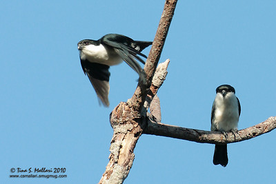 Philippine Falconet (Microhierax erythrogenys erythrogenys) a Philippine endemic
