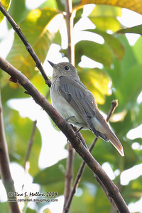 Grey Streaked Flycatcher (Muscicapa griseisticta)