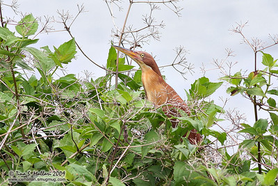 Cinnamon Bittern (Ixobrychus cinnamomeus)