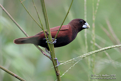 Chesnut Munia (Lonchura malacca)