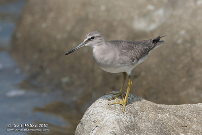 Grey-tailed Tattler (Heteroscelus brevipes)