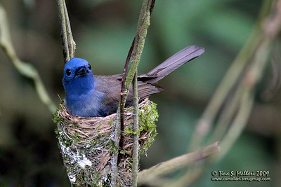 Black-naped Monarch (Hypothymis azurea) female