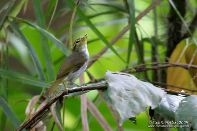 Lemon-throated warbler (Phylloscopus cebuensis)