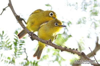 Yellowish white-eye (Zosterops nigrorum) Philippine endemic