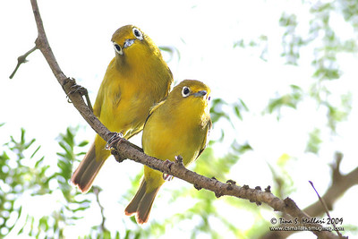Yellowish white-eye (Zosterops nigrorum) Philippine endemic