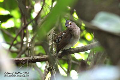 Yellow-wattled Bulbul (Pycnonotus urostictus) Philippine endemic