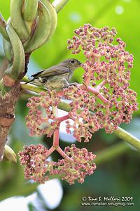 Buzzing Flowerpecker (Dicaeum hypoleucum) Philippine Endemic