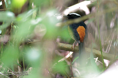 White-browed Shama (Copsychus luzoniensis) Philippine endemic