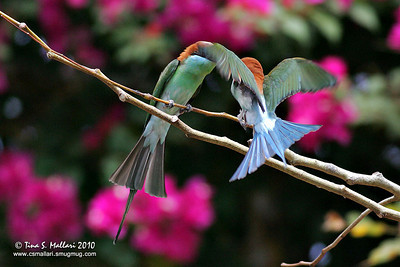 Blue-throated Bee-eater (Merops viridis)