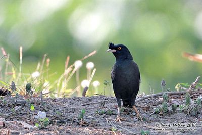Crested Myna (Acridotheres cristatellus)