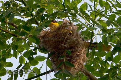 Black-naped Oriole (Oriolus chinensis)