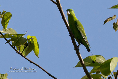 Green Racquet-Tail (Prioniturus luconensis) a Philippine endemic