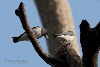 White-breasted Wood-swallow (Artamus leucorynchus)