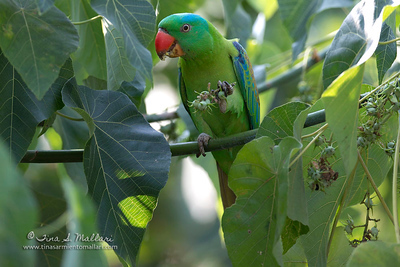 Blue-naped Parrot (Tanygnathus lucionensis) a near Philippine endemic